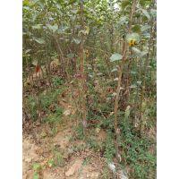 供应矮化苹果树苗、嫁接矮化苹果苗、山西矮化苹果苗