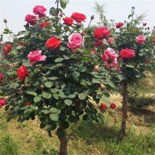 树状月季(月季树)哪里便宜 江苏树状月季价格咨询电话
