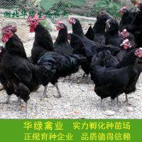 供应-贵阳高产黑羽绿壳蛋鸡苗、三峡麻羽高产绿壳蛋鸡苗、湖北华绿生态农业