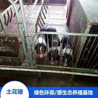 湖南宁乡土花猪生态健康散养宁乡猪苗野猪排骨厂家销售