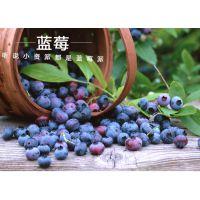山东万亩丰茂批发蓝莓树苗 美登 芬蒂 北陆 北蓝 南蓝 酷派 蓝宝石 奥尼尔