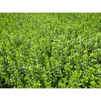 供应山东小区绿化常用绿化苗木地被灌木杯苗宿根时令花卉纯一手货源