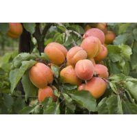 出售杏树苗 出售嫁接杏树苗 出售抗寒杏树苗 供应东北杏树苗