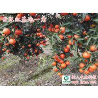 世纪红柑橘苗由湖南树人公司果园基地直销