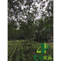 成都崇德园林紫薇基地3-15公分精品紫薇低价处理