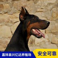 嘉祥县兴亿达纯种杜宾犬工作犬养殖场价格