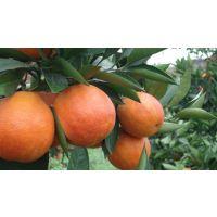 塔罗科血橙新系 柑桔苗 果苗 柑橘苗