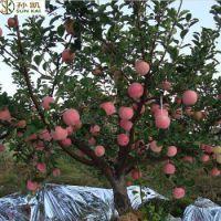 供应鲁丽苹果苗1-8公分
