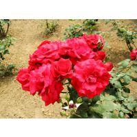 山东蔷薇价格常见品种四季蔷薇价格基地一手供应