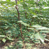 志森园艺花椒苗种植技术 如何提高花椒苗种植成活率