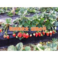 法兰地草莓苗哪里好,漳州法兰地草莓苗,乾纳瑞农业科技