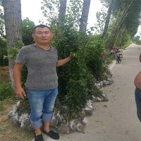 山东泰安北海道黄杨种植基地出售1.5米北海道黄杨、2米北海道黄杨 2.5米北海道黄杨