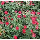 大花月季,月季树价格,北京哪里卖月季花,爬藤月季,藤本月季送货上门