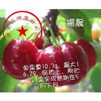 泰安瑞康苗木供应1公分福晨樱桃