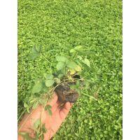 耐寒蛇莓种植基地山东蛇莓价格