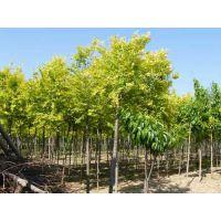 榆树属落叶乔木,高达25米。树干直立,枝多开展,树冠近球形或卵圆形。