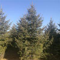 山东云杉树 【3 4 5 】米规格 规格齐全 稀有物种 圣诞树云杉