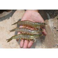 南美白对虾最新价格 威海优质海虾批发