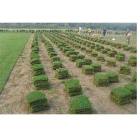 马尼拉草坪原产地直供 量大价优