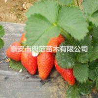 丰香草莓苗价格 丰香草莓苗 优质丰产价格实惠