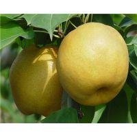 黄金梨树苗今年价格 黄金梨树苗品种特性