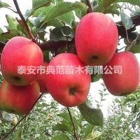 华硕苹果苗价格 新品种华硕苹果树苗介绍