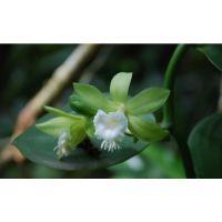 典型的热带雨林中的大型兰科香料植物----香荚兰