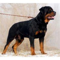 哪里出售罗威纳犬幼犬多少钱一只