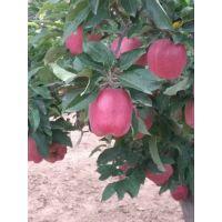 什么地方有蛇果苹果树苗 品质纯正价格低廉 山东苹果树苗种植基地
