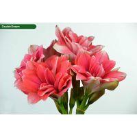 朱顶红种球价格种球批发销售_15年专注种球花卉