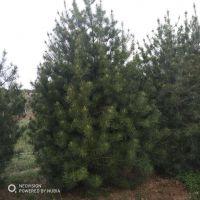 现货出售3.5米精品白皮松 树形漂亮 山东白皮松种植基地价格低廉