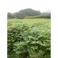 供应黄柏树苗、株高30-60厘米、地径0.3-0.8公分