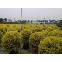 江苏黄金香柳球优良彩叶树,江苏黄金香柳球冠幅1米