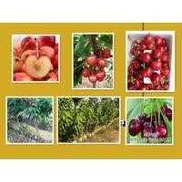1公分美国一号樱桃苗种植基地