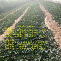 法兰地草莓苗培训