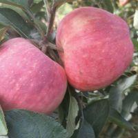 今日红星苹果报价多少钱一斤 红星苹果产地最新价格
