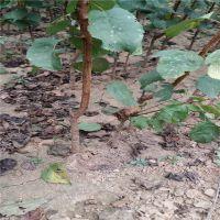 志森园艺嫁接杏树苗品种 嫁接3厘米珍珠油杏树苗价格 品质纯正