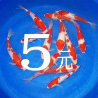 观赏鱼日本锦鲤普通红白锦鲤分段红白锦鲤鱼活体鱼风水鱼冷水鱼苗