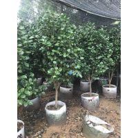贵州茶花树形美,贵州茶花绿化灌木