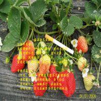 法兰地草莓苗商机
