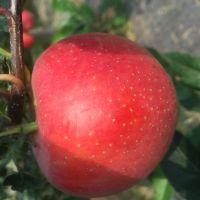 山东早熟鲁丽苹果树苗基地 1公分苹果嫁接树苗 2公分苹果成苗价格
