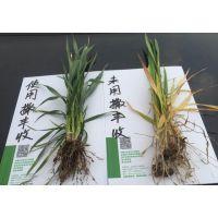 小麦专用复合微生物肥料小麦药肥