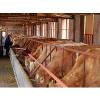 利木赞牛养殖基地