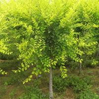 苗圃批发3-15公分的金叶榆鄢陵县永博花卉苗圃供应各种绿化苗木 风景树