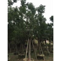 江西香樟移植苗,江西香樟大中小规格