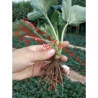 达赛草莓苗 达赛草莓苗价格 达赛莱克特草莓苗基地