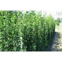 大叶黄杨批发,大叶黄杨出售,卖大叶黄杨,绿篱苗木
