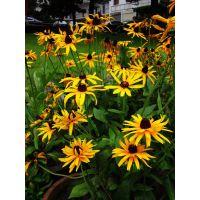 供应花海常用花卉种类常见宿根花卉种类小苗花海用杯苗