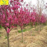 北美海棠 绿化工程用树 规格齐全 05以上规格 分枝多 垂丝 绚丽海棠