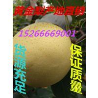 山东黄金梨 黄金梨批发 黄金梨价格 黄金梨产地 哪里黄金梨便宜
